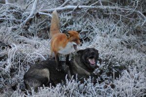 Os animais adoram brincar juntos e parecem não perceber as diferenças existentes entre eles. (Foto: Reprodução / Facebook Torgeir Berge)