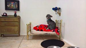 O Chihuahua parece se sentir bastante confortável no seu quartinho, que foi preparado com muito amor. (Foto: Reprodução / Imgur Fatisbac)