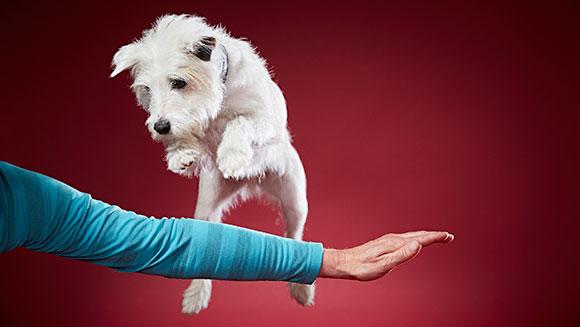 O cachorro Smurf bateu um novo recorde mundial. (Foto: Reprodução / Guinness World Records)