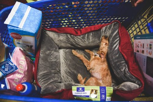 Lua estava se sentindo tão feliz e segura com seu novo papai que adormeceu no carrinho da loja enquanto comprava sua caminha e tudo que ela iria precisar na nova casa. (Foto: Reprodução / John Hwang)