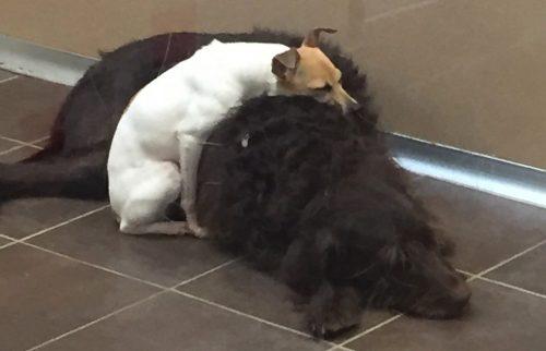 Os dois cães foram abandonados juntos e estão sempre grudados. (Foto: Reprodução / Animal Rescue League of Iowa)
