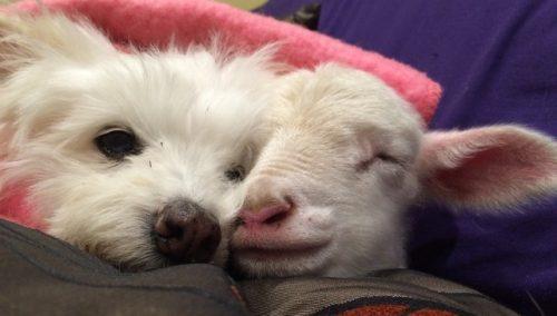 Os dois estavam sempre dormindo juntos. (Foto: Reprodução / Gunyah Animal Healing Sanctuary)