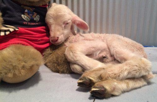 O cordeiro foi encontrado com dias dias de nascido e chegou ao santuário quase sem vida. (Foto: Reprodução / Gunyah Animal Healing Sanctuary)