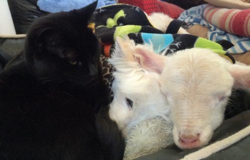Até o mais distante dos gatos passou a ficar ao lado de Kenny.(Foto: Reprodução / Gunyah Animal Healing Sanctuary)