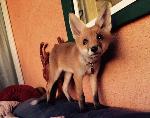 A pequena raposa Willa foi resgatada e levada para o santuário Sugarshine Sanctuary (Foto: Reprodução / Sugarshine Farm Sanctuary)