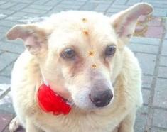 Pompom foi abandonada em um bairro de São José dos Campos. Os vizinhos, com pena, passaram a alimentar a cadela. (Foto: Reprodução / Roberta Evelyn)