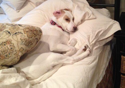 A cadela sofria com uma grave doença que a deixou com as patas traseiras paralisadas. Porém, sua família não a abandonou e cuidou dela o tempo todo. (Foto: Reprodução / Animal Acupuncture)