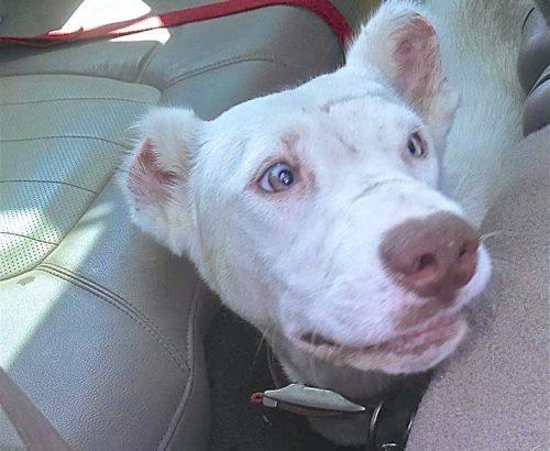 Com todo o amor e cuidado que está recebendo, Niya já está mais feliz e conseguindo se abrir mais para humanos. (Foto: Reprodução / Arrow Dog Rescue)
