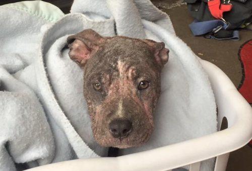 A cadela apresentava um problema de pele que mostrava que ela não estava recebendo os cuidados necessários antes de ser encontrada. (Foto: Reprodução / Sacramento Fire Department)