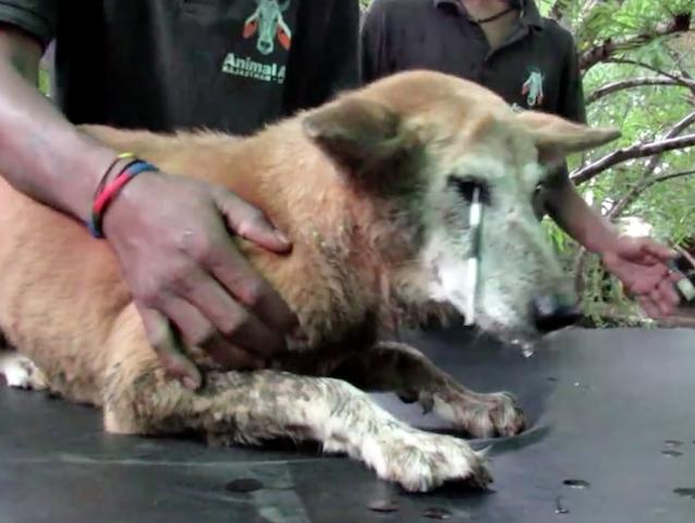 A cachorra estava com um enorme espinho em sua pálpebra. (Foto: Reprodução / Facebook / Animal Aid Unlimited)