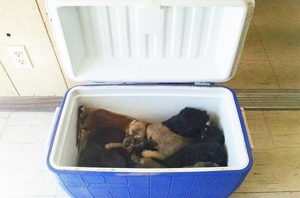 Os filhotes foram abandonados dentro de uma caixa térmica. (Foto: Reprodução / The Dodo / Hunt County Pets Alive)
