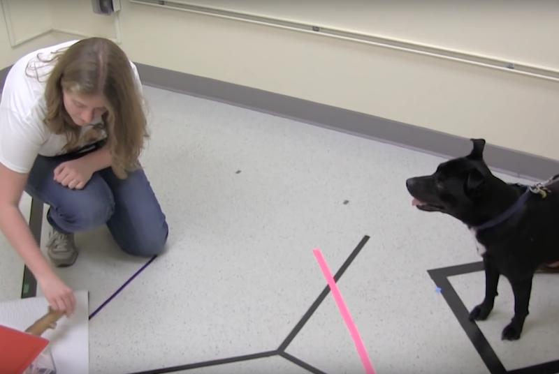 Mulher mexendo no graveto para ver se o cachorro seguiria todas as etapas mostradas. (Foto: Reprodução / Youtube / YaleCampus)