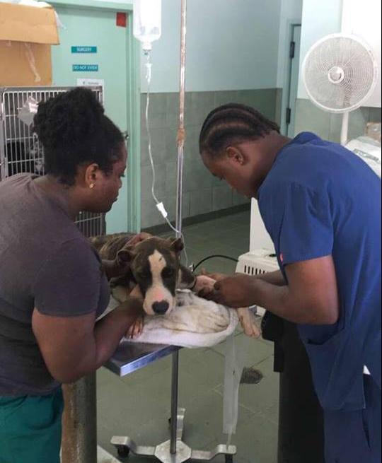 Matthew recebendo os cuidados que precisa. (Foto: Reprodução / Facebook / Bahamas Humane Society)