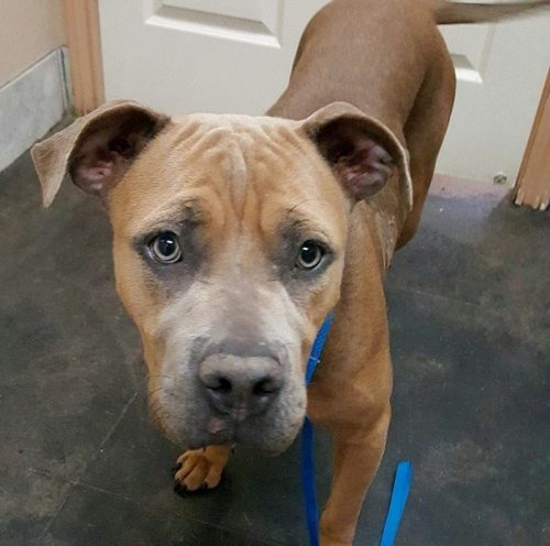 A cadela recebeu os cuidados urgentes necessários e ficou em observação por cinco dias na clínica. (Foto: Reprodução / The Abandoned Ones)