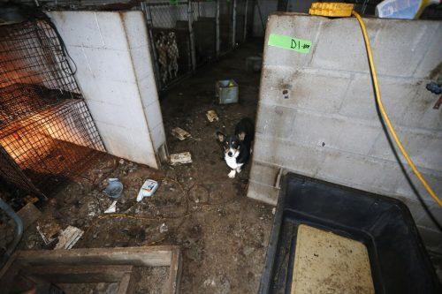 Cerca de 295 animais estavam vivendo em uma situação miserável. (Foto: Reprodução / HSUS)