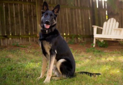 Hoje, o cão está muito bem com sua família e dá e recebe muito amor. (Foto: Reprodução / HSUS)