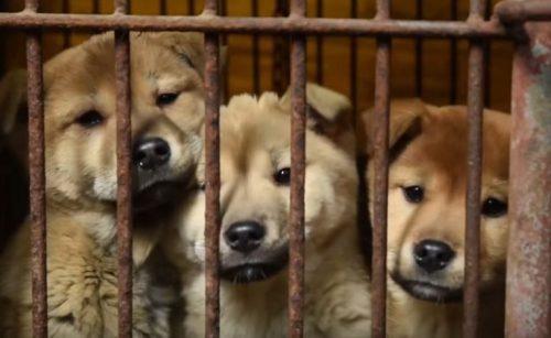 Sunshine foi resgatada de uma fazenda de carne de cão na Coreia do Sul. (Foto: Reprodução / Humane Society International)
