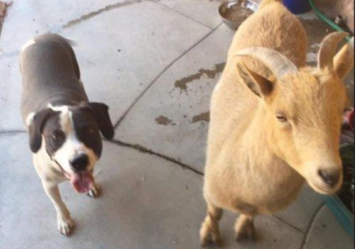 O cão e a cabra são melhores amigos.(Foto: Reprodução / Tara Hamilton)