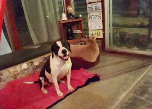 A cabra também dorme em sua caminha de cachorro e parece não perceber as diferenças existentes entre ela e seu amigo cão. (Foto: Reprodução / Tara Hamilton)