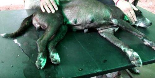 Millie estava com um grave caso de piometra e precisava de cirurgia urgente. (Foto: Reprodução / Youtube Animal Aid Unlimited, India)