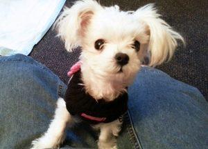 Snowflake foi adotada por uma família muito amorosa que lhe deu o nome de Pip e é muito feliz em seu novo lar. (Foto: Reprodução / Facebook Charlotte's Place-A Journey of Hope)