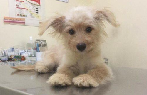 A cadelinha Gidget foi resgatada na Tailândia. (Foto: Reprodução / North Shore Animal League America)