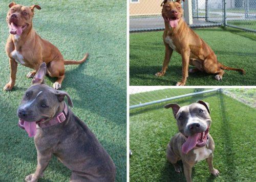 Os cães são doces e carinhosos. Hoje, eles estão bem melhores e seguem se recuperando no abrigo. (Foto: Reprodução / Orange County Animal Services)