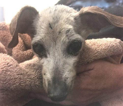 O homem que a resgatou teve que entregar a cadela para o abrigo, o que deixou o dois tristes. (Foto: Reprodução / At-Choo Foundation)