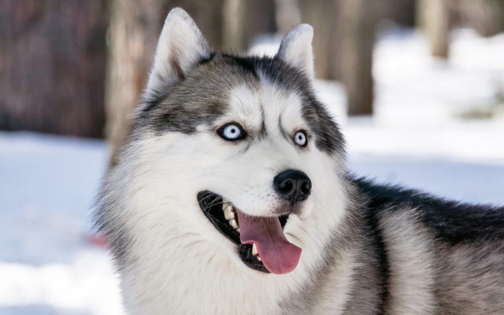 Resultado de imagem para Husky Siberiano
