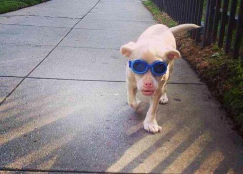 O cão possui uma doença grave e rara e por isso precisa usar um óculos especial. (Fotos: Reprodução / Tucker Wears Goggles)