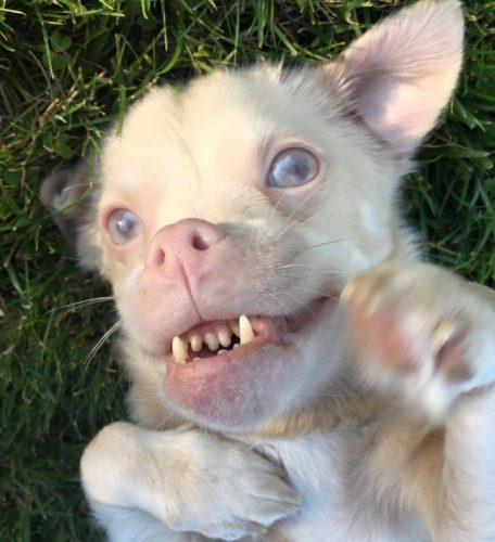 O cão Tucker se tornou famoso por conta de seu sorriso, que o deixa parecido com um morcego. (Fotos: Reprodução / Tucker Wears Goggles)