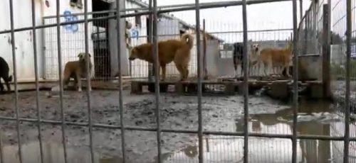 A cadela Simona foi resgatada de um abrigo em Israel e ninguém sabia que ela estava grávida. (Foto: Reprodução / Dog Tales Rescue and Sanctuary)