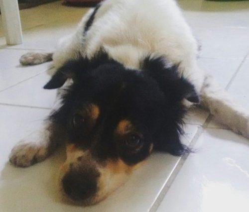 Após o último resgate, Oliveira recebeu um adestramento, mudou o seu comportamento e está pronto para ser adotado. (Foto: Reprodução / Abrace)
