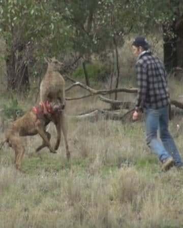Ao ver o homem muito perto, o canguru acabou soltando o cão. (Foto: Reprodução / Greg Bloom)