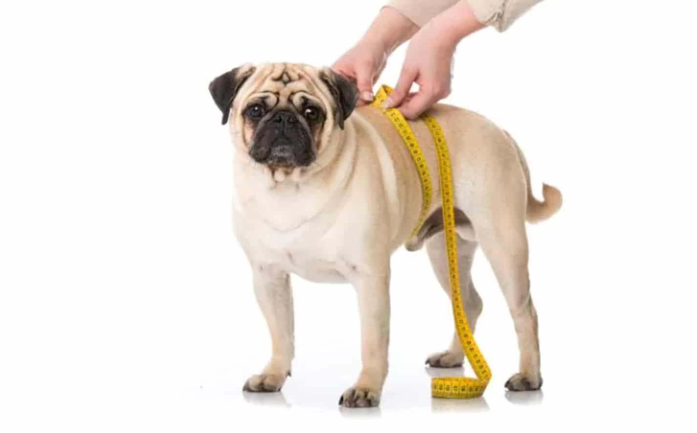 cachorro-saude-obesidade-dicas.jpg