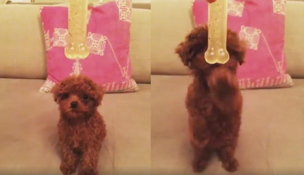 Katy Perry Compartilha Vídeo De Seu Cachorro Nugget Ainda Um Bebê