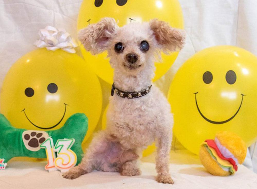 Cãozinho tem duas patas amputadas por causa da falta de cuidados com seus  pelos - Portal do Dog f9c713fc19cd