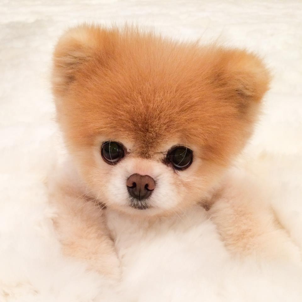 Boo o cachorro mais fofo fazendo pose