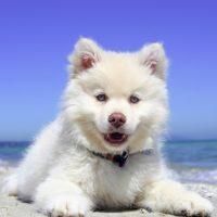 Filhote branco da raça Samoieda representa cães no verão