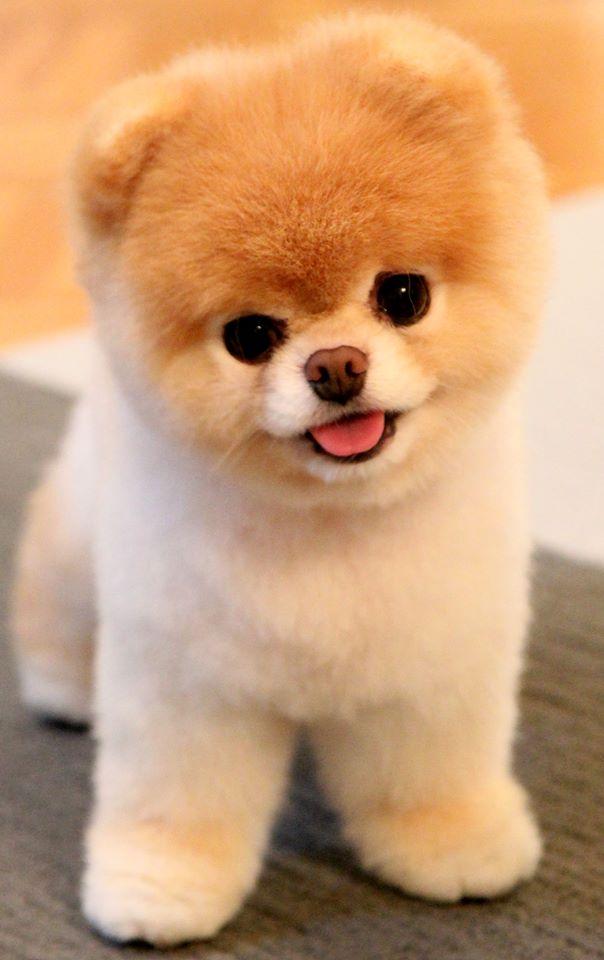Morre Boo - o cachorro mais fofo do mundo