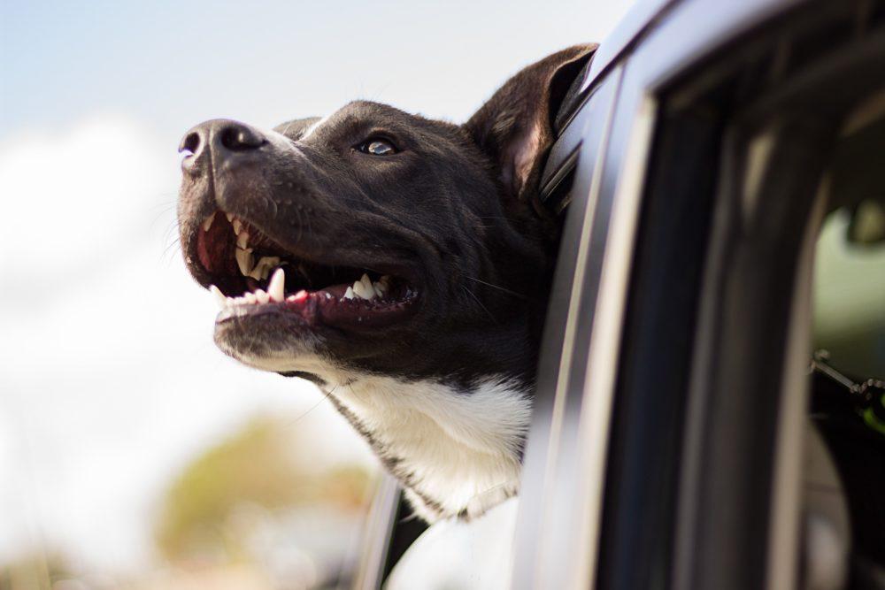 Cão da raça pitbull representa cães no verão