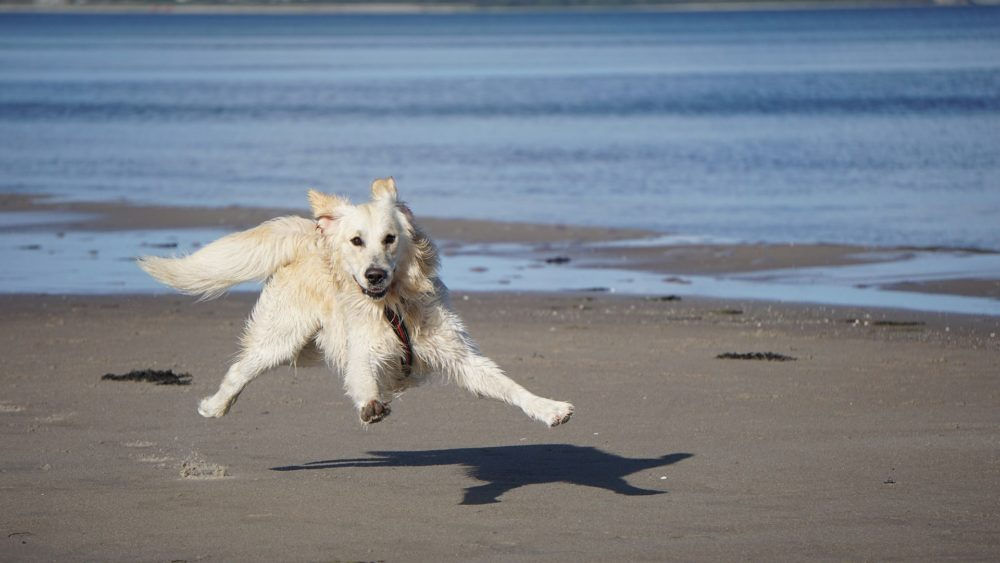 Golden Retriever representa cães no verão