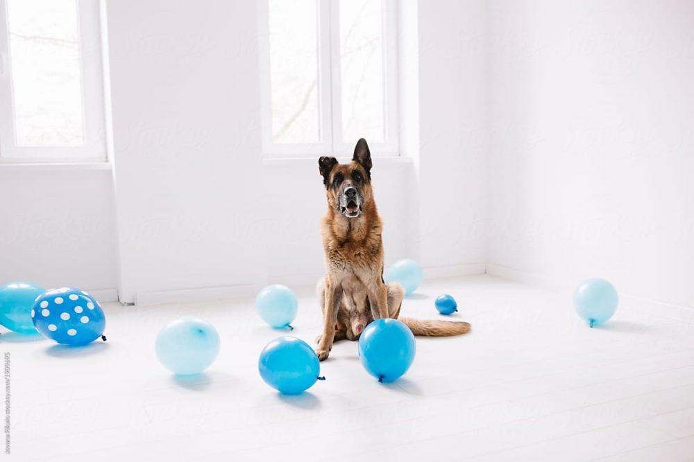 Pastor alemão com balões azuis