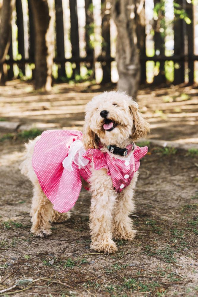 Cadela poodle com vestido rosa
