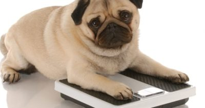 obesidade do cachorro