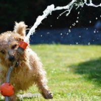 Cãozinho brincando com uma mangueira na grama