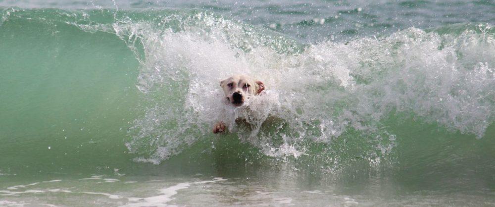 Labrador 'surfando' numa onda do mar