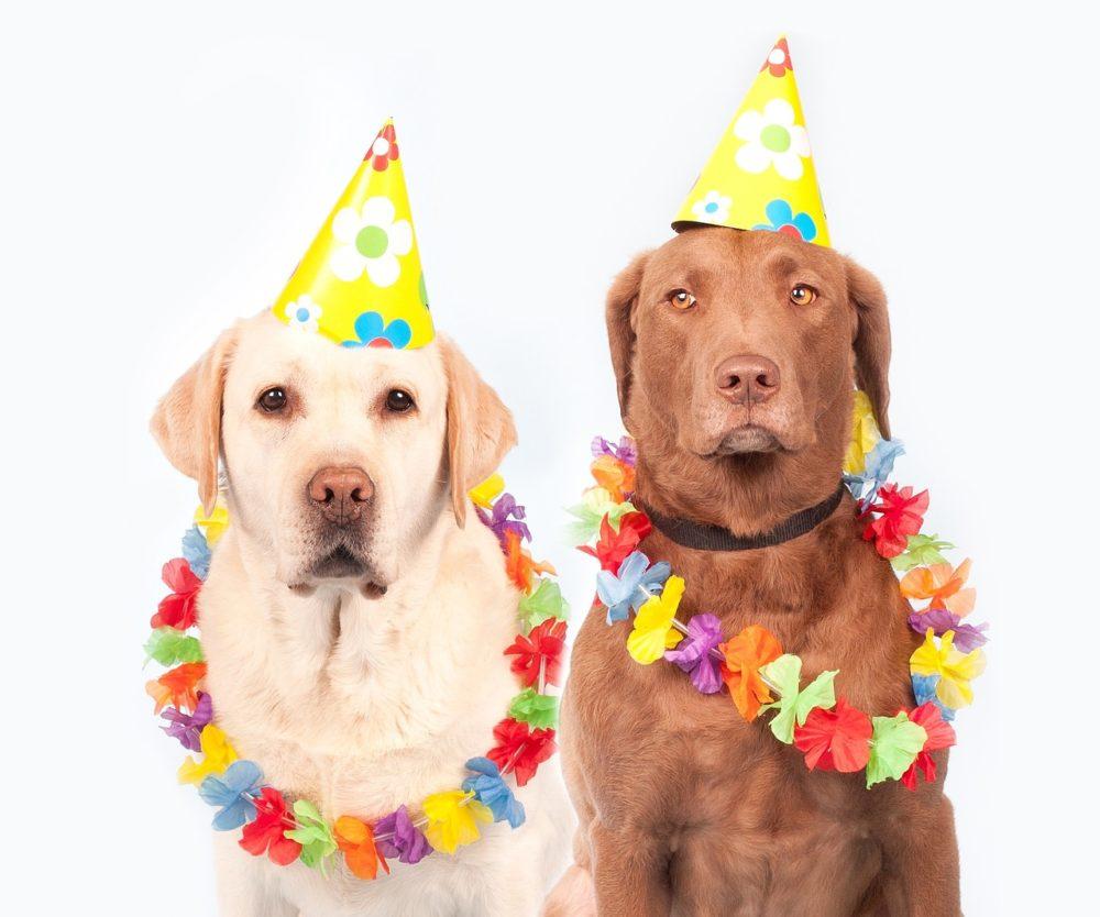 Dois labradores com colares havaianos e chapéus de cone