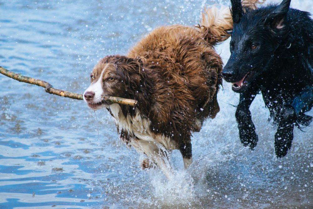 Cães brincando na água com graveto na boca