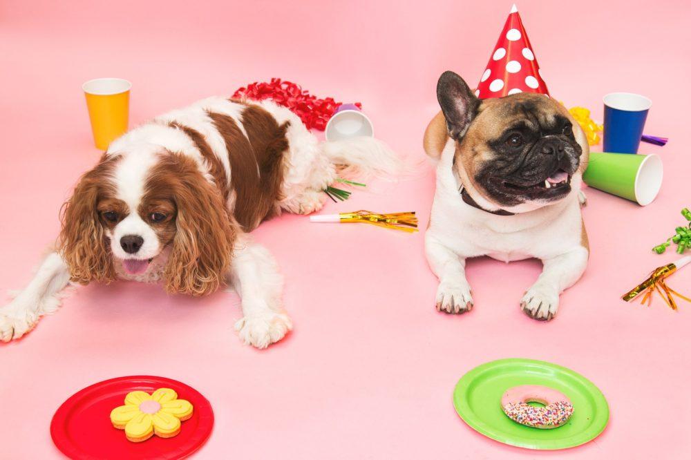 Cavalier King Charles e Bulldog Francês deitados em aniversário
